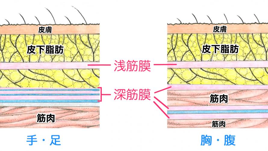浅筋膜と深筋膜の違い